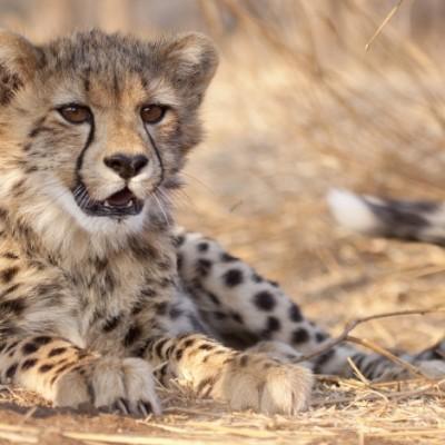 Gepardenjunges in Südafrika