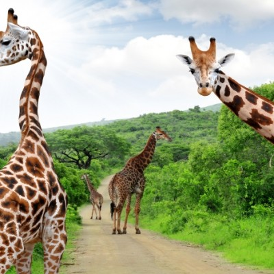 Giraffen auf Safari entdecken Krüger Park Südafrika